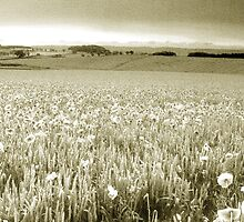 Poppy Field - Infra Red by b8wsa