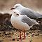 (Birds Category) - Family - Laridae - Gulls