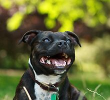 The Staffie Smile by Zoe Gladwin