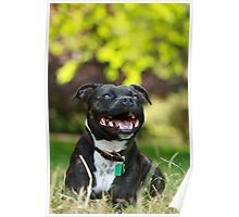 The Staffie Smile Poster