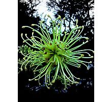 Sick Grevillea Photographic Print
