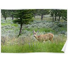 Mule Deer, Yellowstone National Park Poster