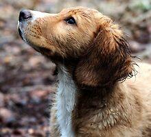 Spaniel Pup by Zoe Gladwin