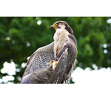 Proud to be a Falcon........... Photographic Print