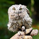 Baby Screech-owl (That cute look) by jdmphotography