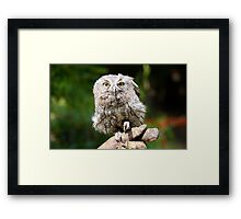 Baby Screech-owl (That cute look) Framed Print