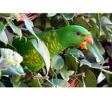 Scaly Breasted Lorikeets Photographic Print