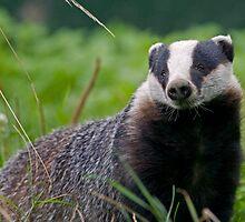 Mr Badger by Krys Bailey
