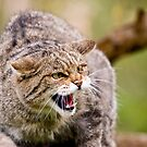 Scottish wild cat by digitaldawn