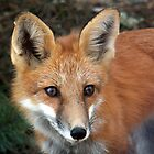 Red Fox by Gotcha  Photography