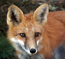 Red Fox by Wabacreek Photography