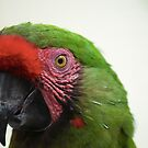 Military Macaw by Kristin Nichole Hamm