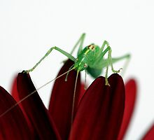 Grass-hopper by Ellen van Deelen