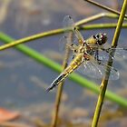 Resting Female Chaser. by relayer51