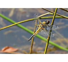 Resting Female Chaser. Photographic Print