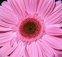 Pink Gerber Daisy by Samantha Dean