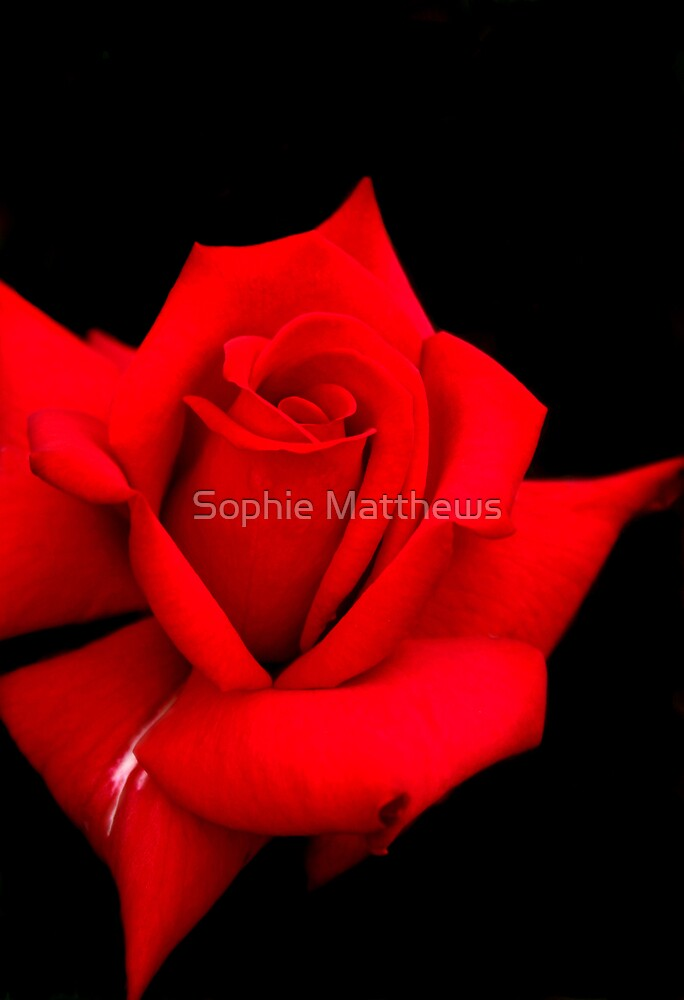 Red Red Rose by Sophie Matthews
