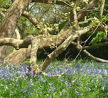 Bluebells by cromerpaul