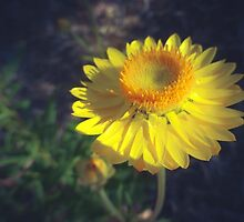 Paper Daisy by DVJPhotography