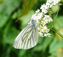 butterfly by cromerpaul