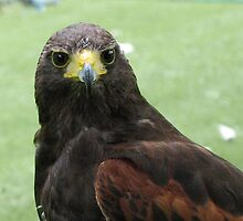 Harris Hawk by jacqi