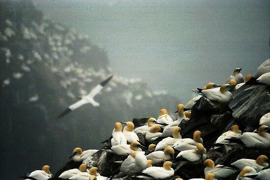 Gannets by Brian Carey