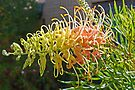 Two coloured Grevillea by Graeme  Hyde