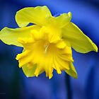 Yellow Daff. by Kristina K