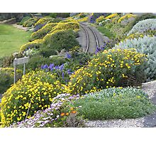 daisies along the Penguin railway line Photographic Print