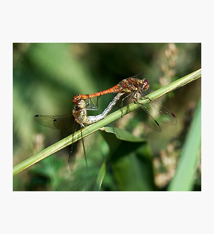 Dragonflies Mating Photographic Print