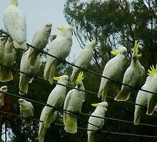 Cockatoos on a Wire by Of Land & Ocean - Samantha Goode