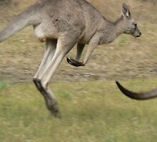 Hopping Kangaroo  by David Bass