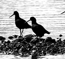 Oystercatchers by Barbara Caffell