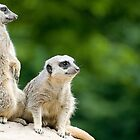 Meerkats on Guard by Robert Scammell