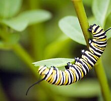 Striped Caterpillar by Robert Scammell
