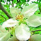 Purity - White cherry blossom by NicoleBPhotos