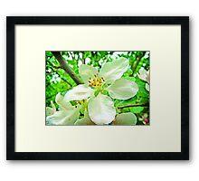 Purity - White cherry blossom Framed Print
