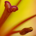 Asiatic Lily by DuaneVigue