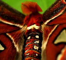 Atlas Moth by Damienne Bingham