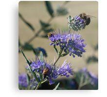 Bumble bees x 3 Metal Print