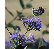 Bumble bees x 3 Photographic Print