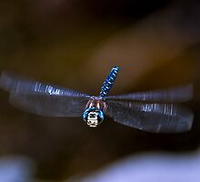 Dragonfly Flight by David Friederich