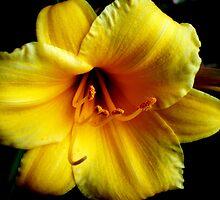 Flaming Yellow by shelbu94