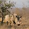 ENDANGERED SPECIES - Rhinoceros