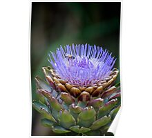 Purple Flower With Bee at Melbourne Zoo Poster