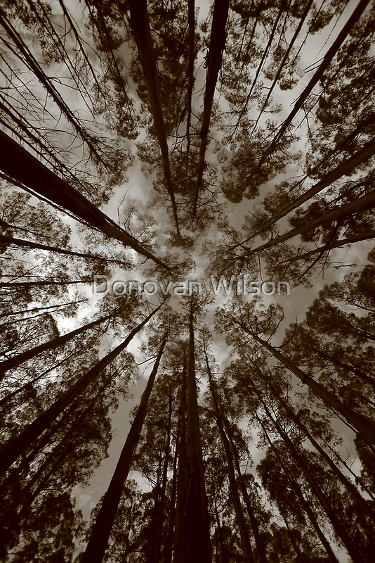 mountain ash..canapy. by Donovan wilson