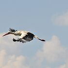 White stork in flight by NicoleBPhotos