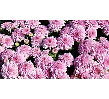Field of Pink Marigolds Photographic Print