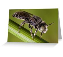 Male Megachilid bee (genus Hoplitis sp.) Greeting Card