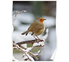 Red Robin in the Snow Poster